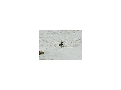 Photo Small Lapwing In Snow Animal