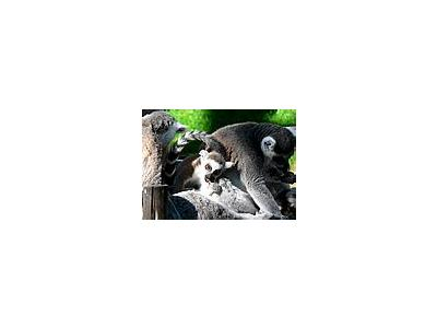 Photo Small Lemurs Eating Animal
