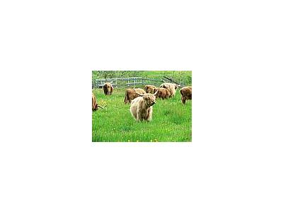 Photo Small Long Horned Cattle 2 Animal