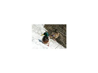 Photo Small Male And Female Mallards On Waterside Animal