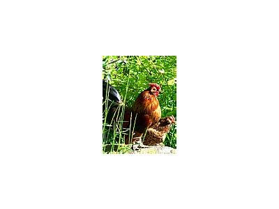 Photo Small Proud Rooster Animal
