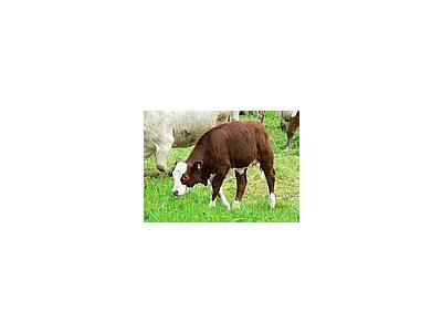 Photo Small Red And White Calf 2 Animal