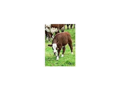 Photo Small Red And White Calf 3 Animal