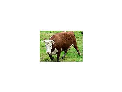 Photo Small Red And White Cow Animal