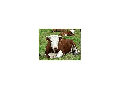 Photo Small Red And White Cow 2 Animal
