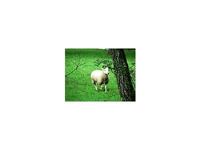 Photo Small Running Sheep Animal