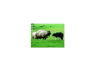 Photo Small Sheep And Sheep Dog Animal