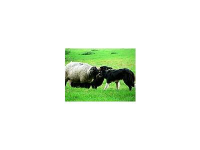 Photo Small Sheep And Sheep Dog 2 Animal