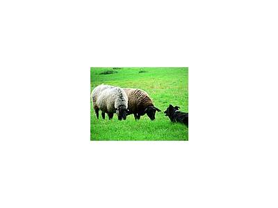 Photo Small Sheep And Sheep Dog 3 Animal