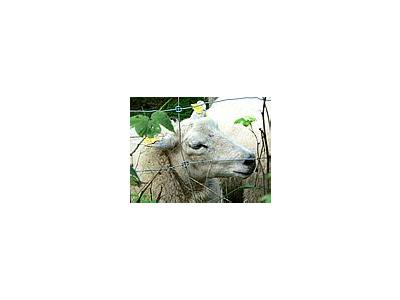Photo Small Sheep Behind Fence Animal