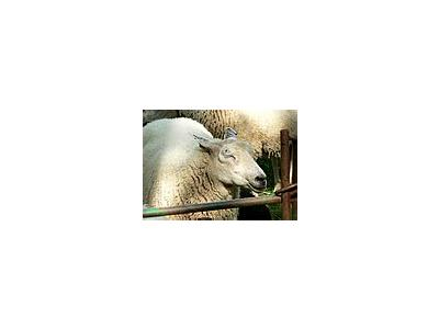 Photo Small Sheep With Closed Eyes Animal