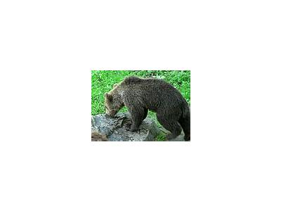 Photo Small Sniffing Bear Animal