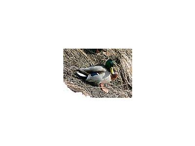 Photo Small Sunbathing Mallard Animal