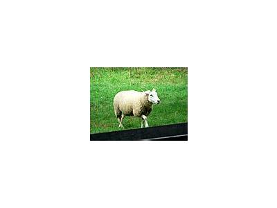 Photo Small Walking Sheep Animal