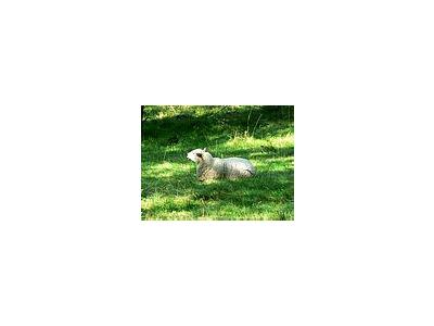 Photo Small White Sheep Resting Animal