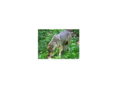 Photo Small Wolf Eating Animal