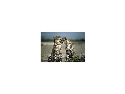 Photo Small Cheetah Animal