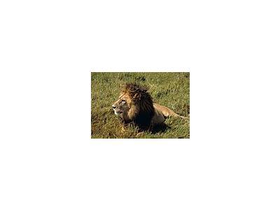 Photo Small Lion Animal