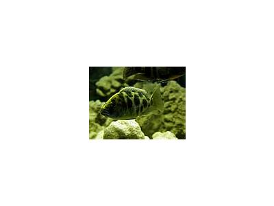 Photo Small Aquarium Fish 10 Animal