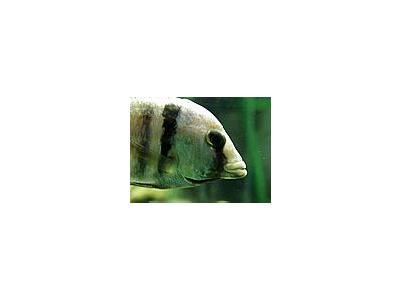 Photo Small Aquarium Fish 11 Animal