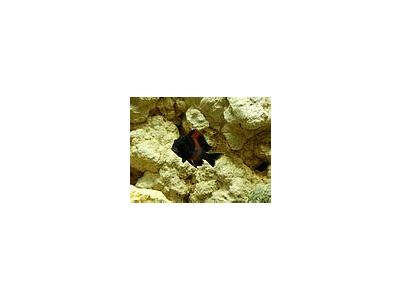 Photo Small Aquarium Fish 20 Animal
