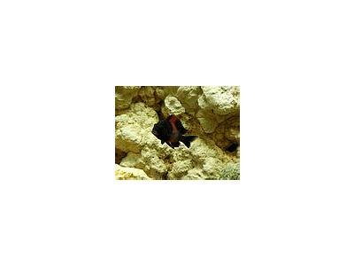 Photo Small Aquarium Fish 20 Animal