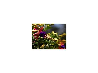 Photo Small Fuschia Flower