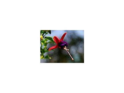 Photo Small Fuschia 2 Flower