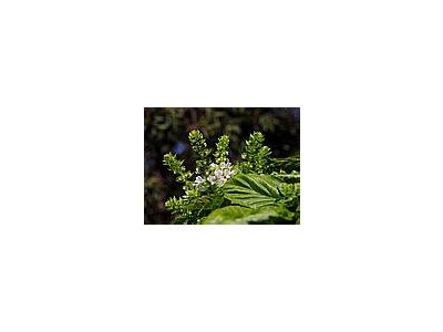 Photo Small Herbs Blooming Basil Flower