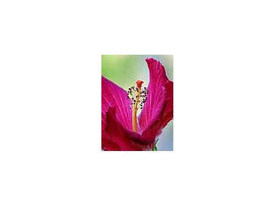 Photo Small Hibiscus Flower