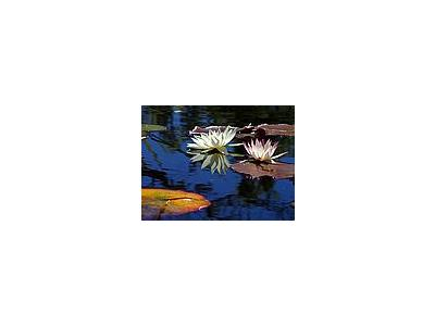 Photo Small Lotus Flower