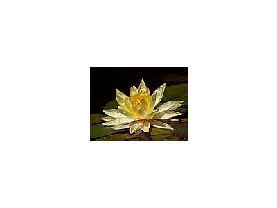 Photo Small Lotus Blossom Flower