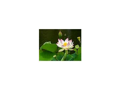 Photo Small Lotus Flower 2 Flower