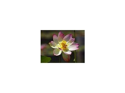 Photo Small Lotus Flower 3 Flower