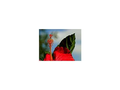 Photo Small Hibiscus 2 Flower
