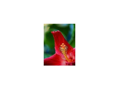 Photo Small Hibiscus 4 Flower