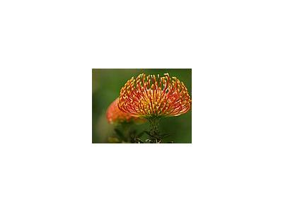 Photo Small Pincushion Protea Flower