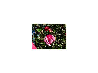 Photo Small Pink Rose Flower