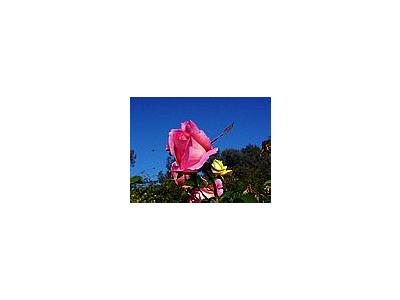 Photo Small Pink Rose 2 Flower