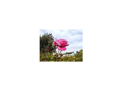 Photo Small Pink Rose 3 Flower