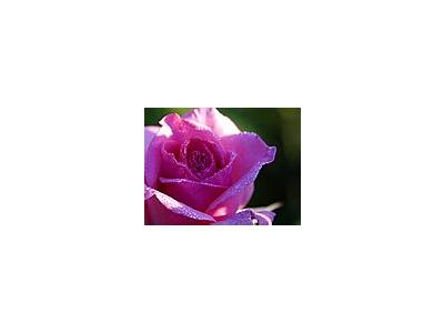 Photo Small Pink Rose Drops Flower