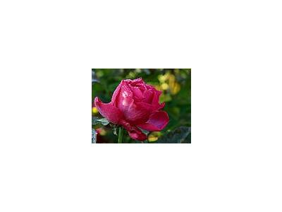 Photo Small Pink Rose Drops 2 Flower