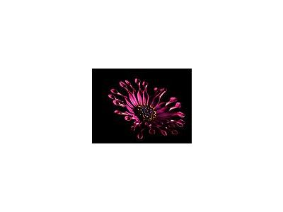 Photo Small Pink Whirls Daisy Flower
