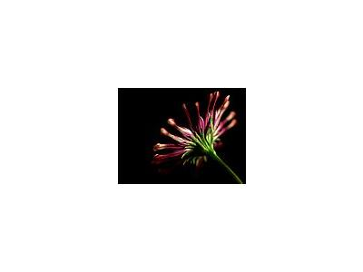 Photo Small Pink Whirls Daisy 2 Flower