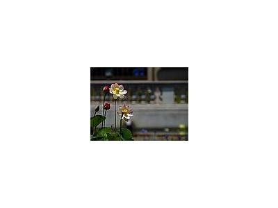Photo Small Pond Flower