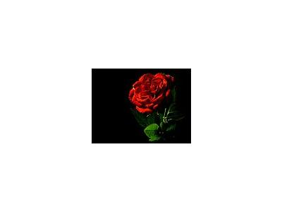 Photo Small Red Rose Flower