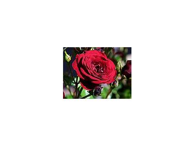 Photo Small Rose Flower