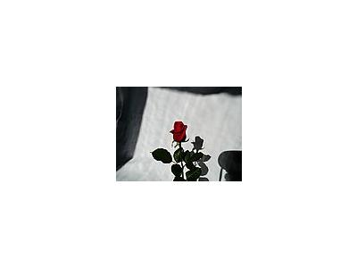 Photo Small Rose 2 Flower
