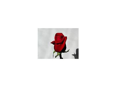 Photo Small Rose 3 Flower
