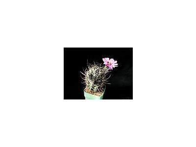 Photo Small Cactus 38 Flower